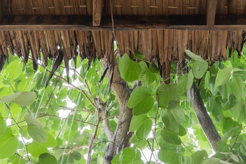 El llover lo está cayendo en el tejado el ` s hecho de hierba seca del cogon fotografía de archivo