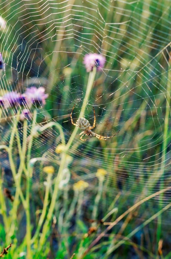 El lobata blanco del Argiope del argiope de la araña los primeros rayos de la mañana ilumina un insecto venenoso Macro Foco suave fotos de archivo libres de regalías