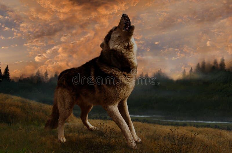 El lobo canta en la puesta del sol imagenes de archivo