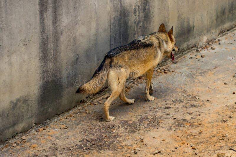 El lobo gris está corriendo en el parque zoológico de Kyiv en Ucrania foto de archivo