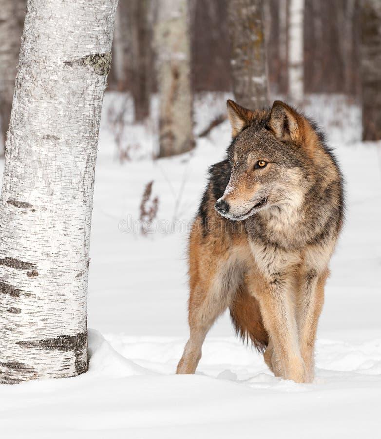 El lobo gris (lupus de Canis) camina alrededor de árbol de abedul imagenes de archivo