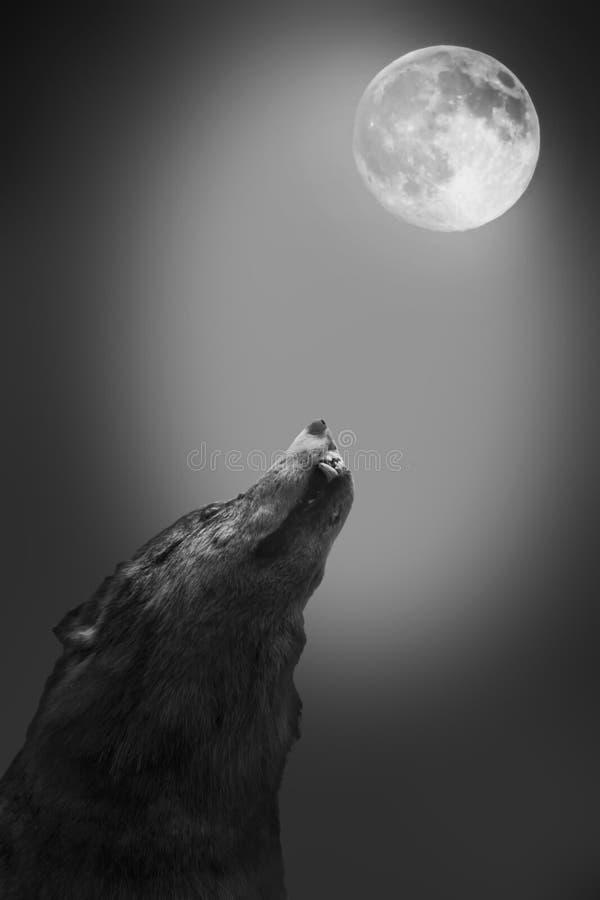 El lobo grita a la luna imagen de archivo