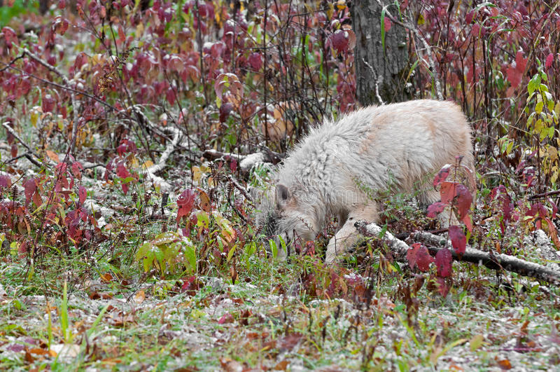 El lobo rubio (lupus de Canis) caza en hierbas foto de archivo