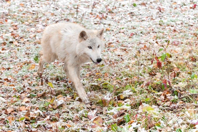 El lobo rubio (lupus de Canis) corre adelante con impaciencia fotografía de archivo