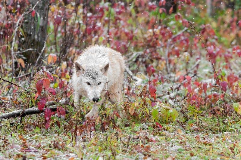 El lobo rubio (lupus de Canis) corre con Sumac imagen de archivo libre de regalías