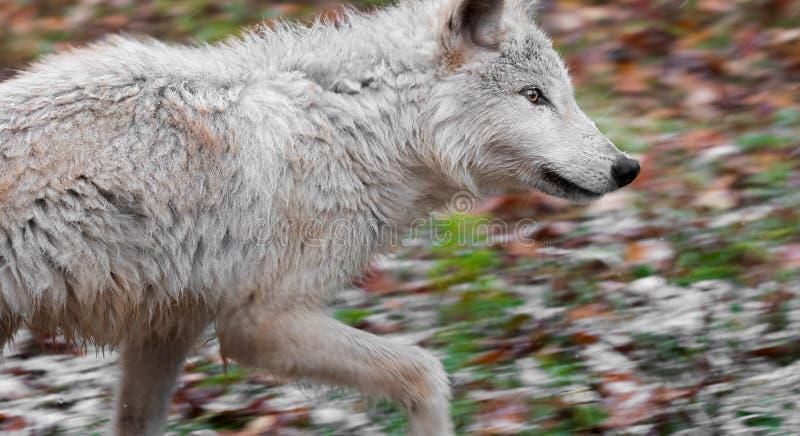 El lobo rubio (lupus de Canis) corre a la derecha imagenes de archivo