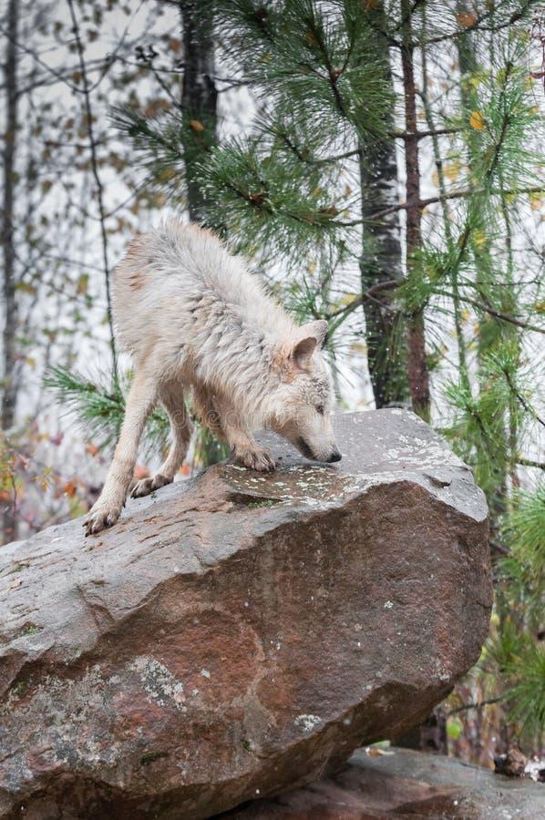 El lobo rubio (lupus de Canis) huele alrededor encima de roca fotos de archivo