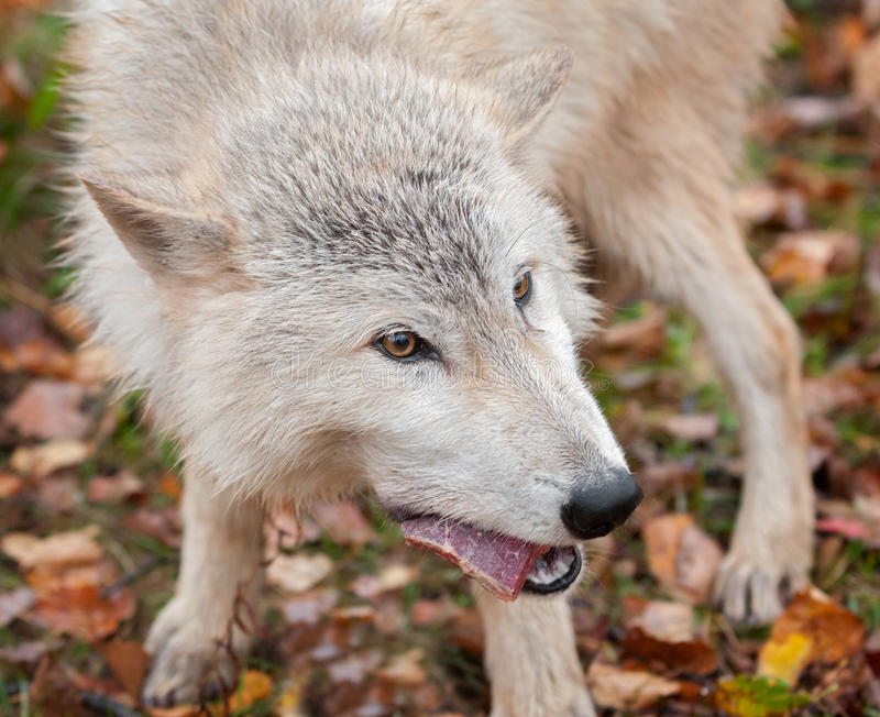 El lobo rubio (lupus de Canis) mastica en el bocado de la carne foto de archivo libre de regalías