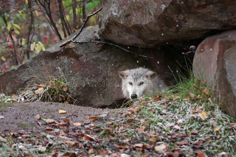 El lobo rubio (lupus de Canis) mira a escondidas fuera de guarida imagen de archivo libre de regalías