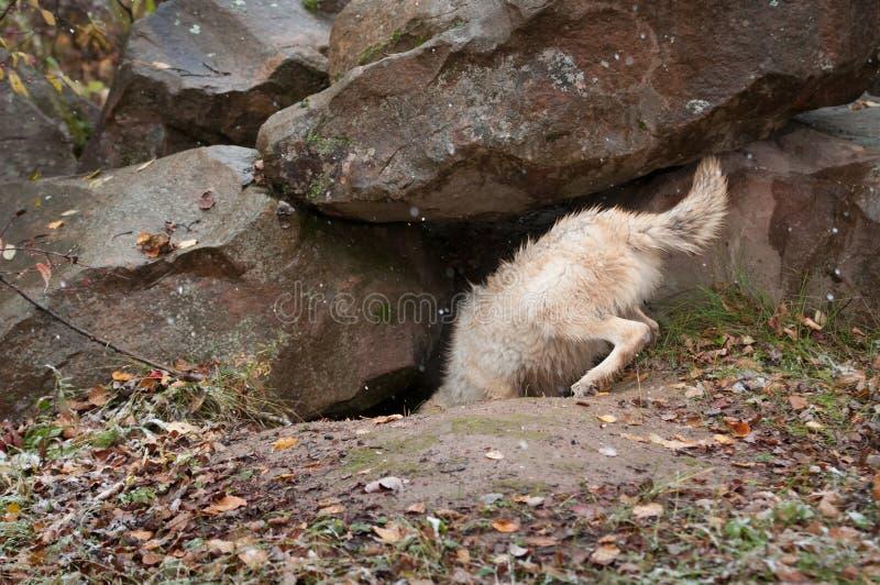 El lobo rubio (lupus de Canis) se zambulle en guarida foto de archivo