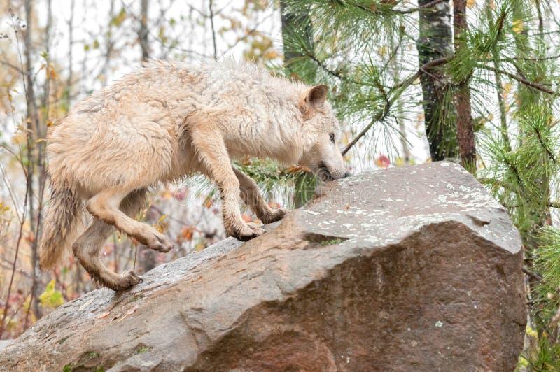 El lobo rubio (lupus de Canis) sube para arriba la roca imagen de archivo