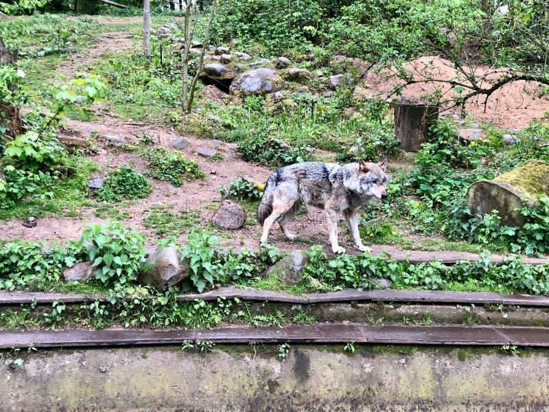 El lobo se coloca en el recinto de un parque zool?gico fotografía de archivo