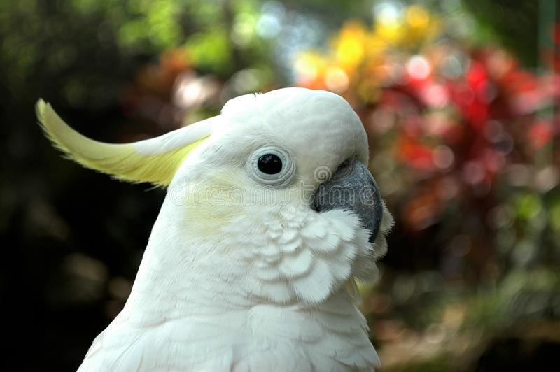 El loro blanco con una cresta en la cabeza foto de archivo libre de regalías