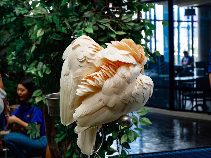 El loro blanco se limpia en el parque zoológico foto de archivo libre de regalías