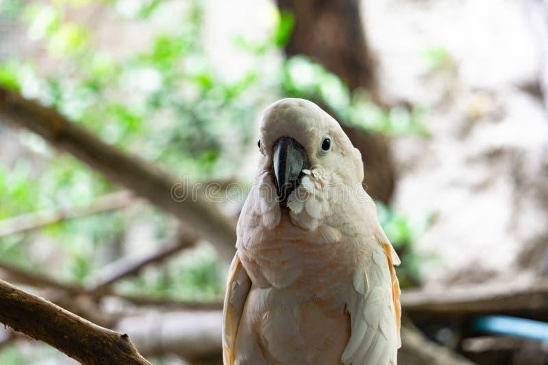 El loro blanco severo del macaw, se cierra encima del Macaw afrontado castaña imágenes de archivo libres de regalías