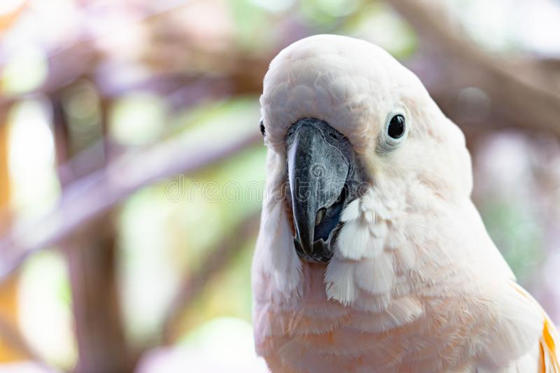 El loro blanco severo del macaw, se cierra encima del Macaw afrontado castaña fotografía de archivo libre de regalías