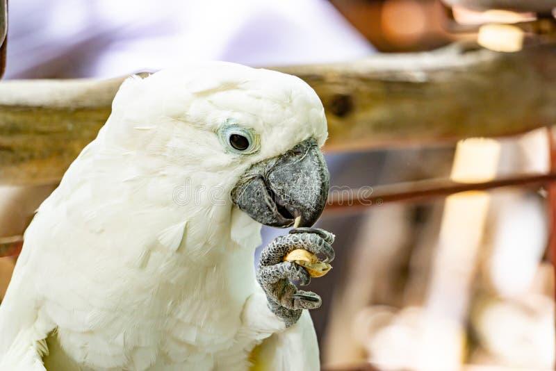 El loro blanco severo del macaw, se cierra encima del Macaw afrontado castaña foto de archivo