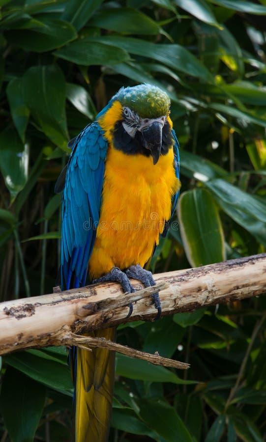 El loro del Macaw, Psittacidae Orthopsittaca, se encaramó en una rama fotografía de archivo libre de regalías
