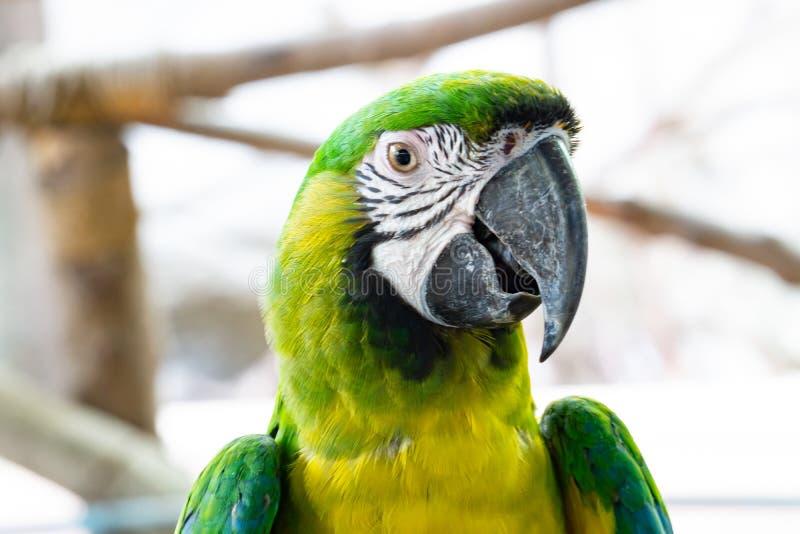El loro severo del Macaw, se cierra encima del Macaw afrontado castaña fotos de archivo