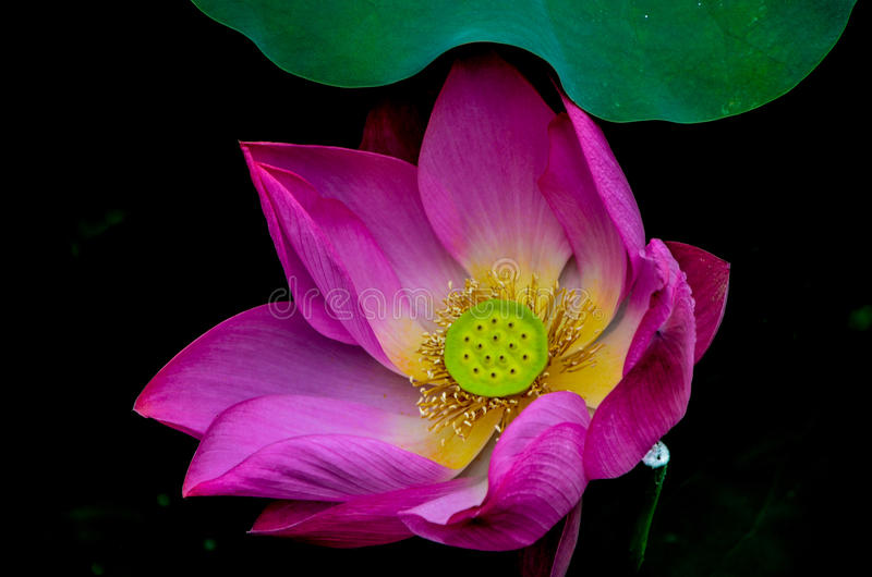 El loto con la semilla imagenes de archivo