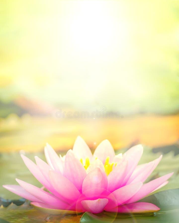 El loto rosado que retiró el sol hermoso de la mañana foto de archivo libre de regalías