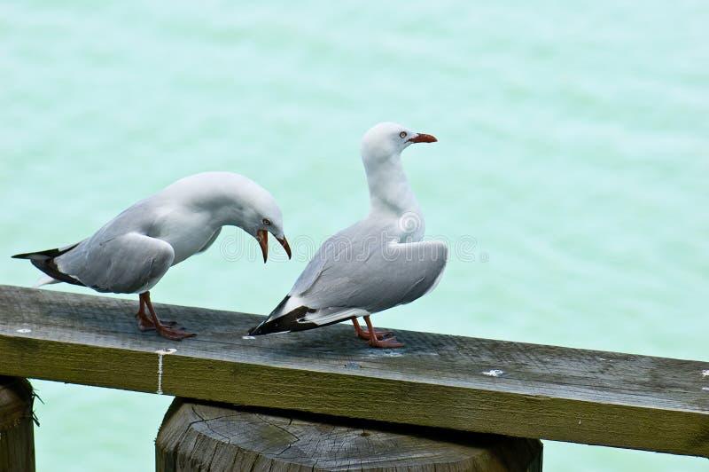 El luchar de las gaviotas foto de archivo libre de regalías