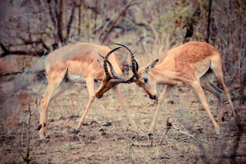 El luchar de los espolones del impala fotos de archivo libres de regalías