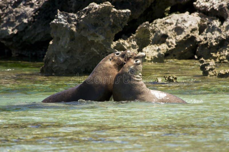 El luchar de los leones de mar imagen de archivo
