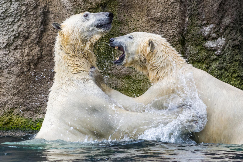 El luchar de los osos polares imagen de archivo