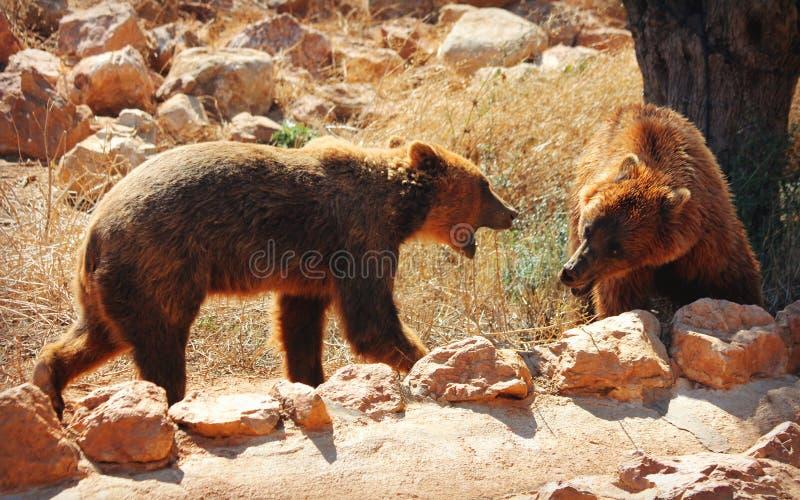 El luchar europeo de dos osos marrones fotografía de archivo libre de regalías