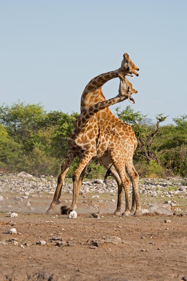 El luchar masculino de dos jirafas fotografía de archivo libre de regalías