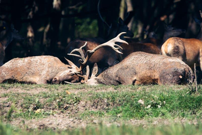 El luchar masculino de dos machos de los ciervos comunes imagen de archivo