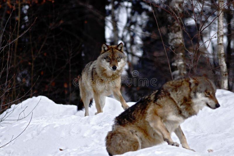 El lupus de canis de dos lobos en invierno, wolfs el funcionamiento en nieve, escena atractiva con los lobos, paisaje hermoso del foto de archivo libre de regalías