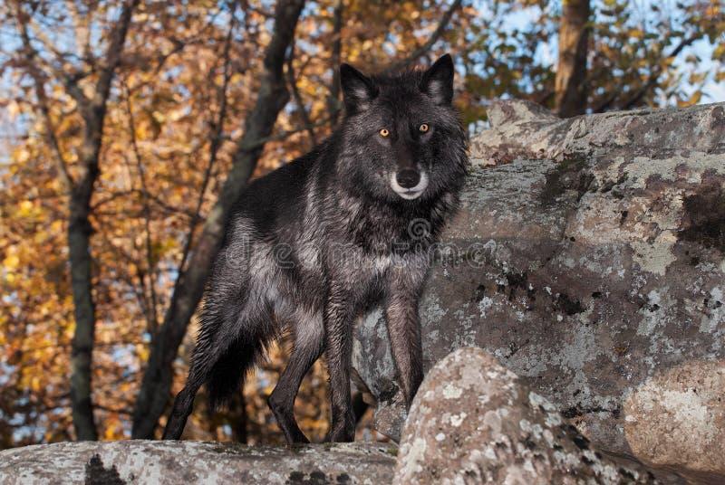 El lupus de Grey Wolf Canis de la Negro-fase mira hacia fuera encima de roca imagen de archivo