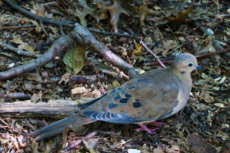 El luto americano se zambulló macroura del zenaida o la paloma de la lluvia se encaramó en rama de árbol fotografía de archivo