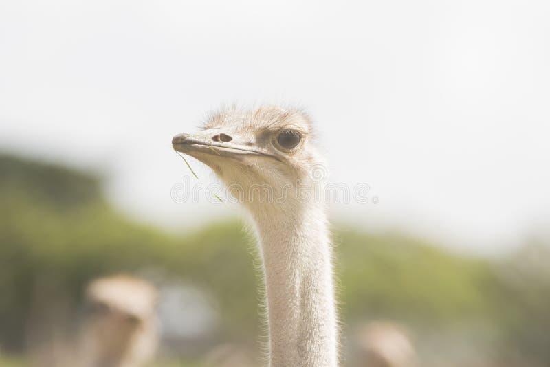 El más grande de pájaros en el mundo fotos de archivo
