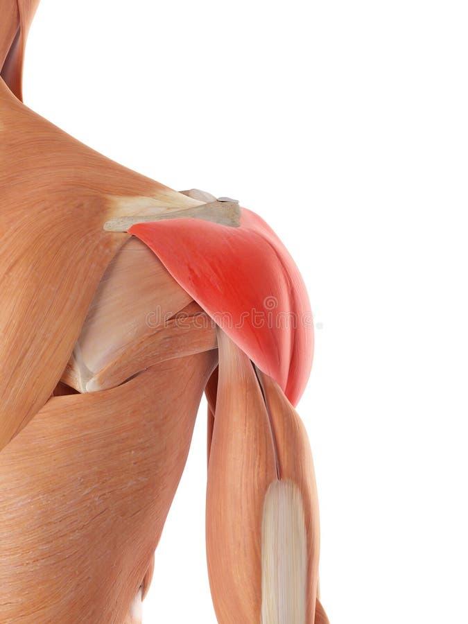 El músculo de deltoides stock de ilustración. Ilustración de ...
