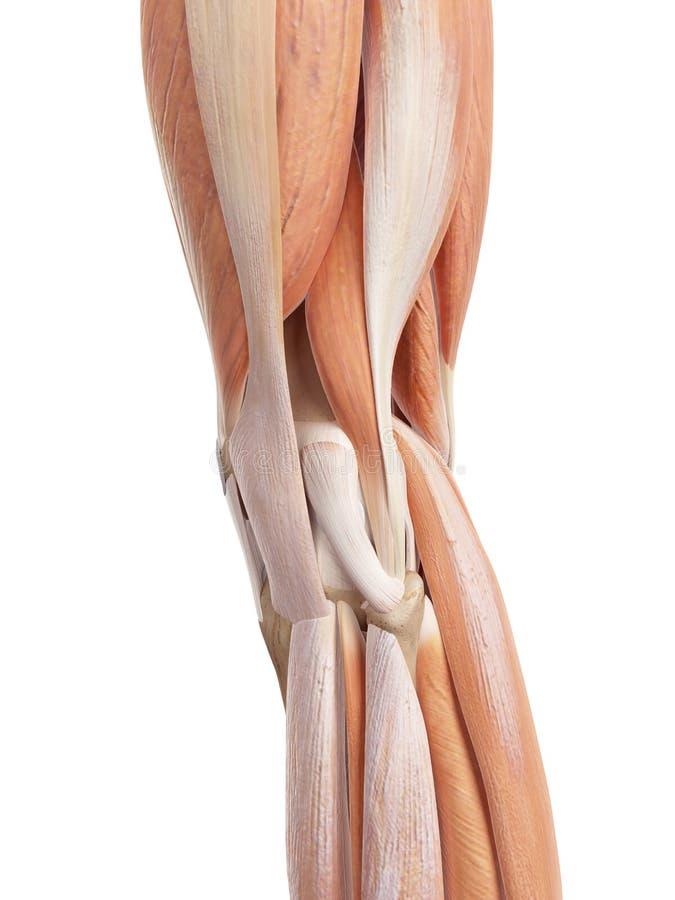 Lujoso Músculos De La Rodilla Ilustración - Imágenes de Anatomía ...