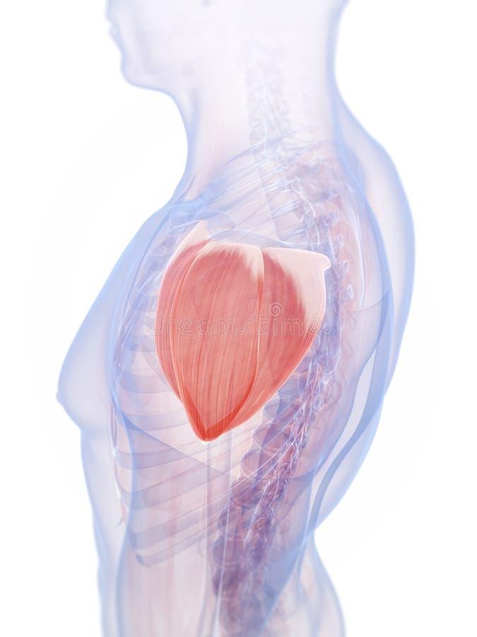 El músculo del hombro stock de ilustración. Ilustración de gráfico ...