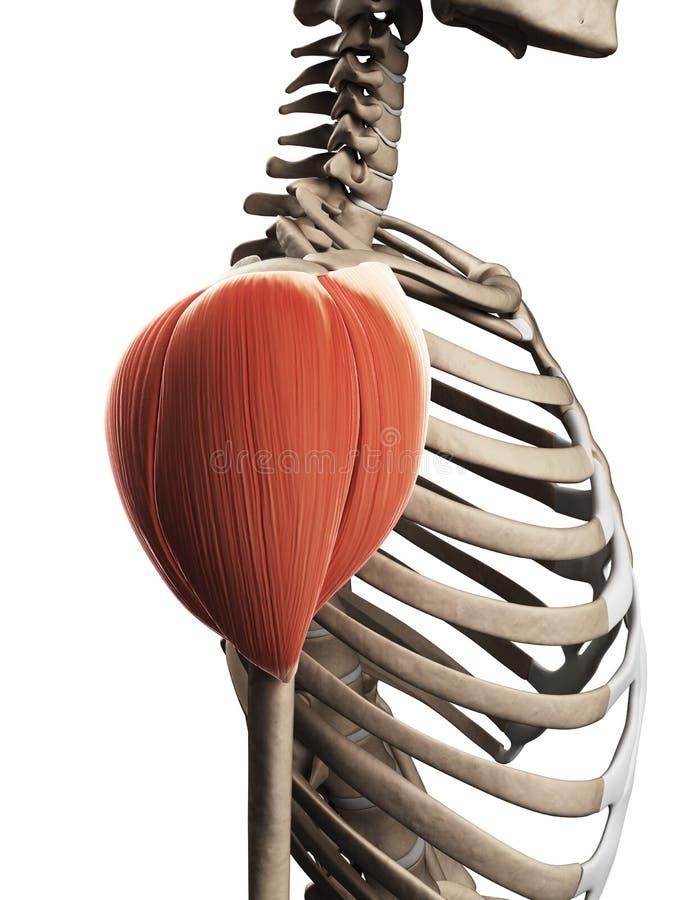 El músculo del hombro stock de ilustración. Ilustración de ...