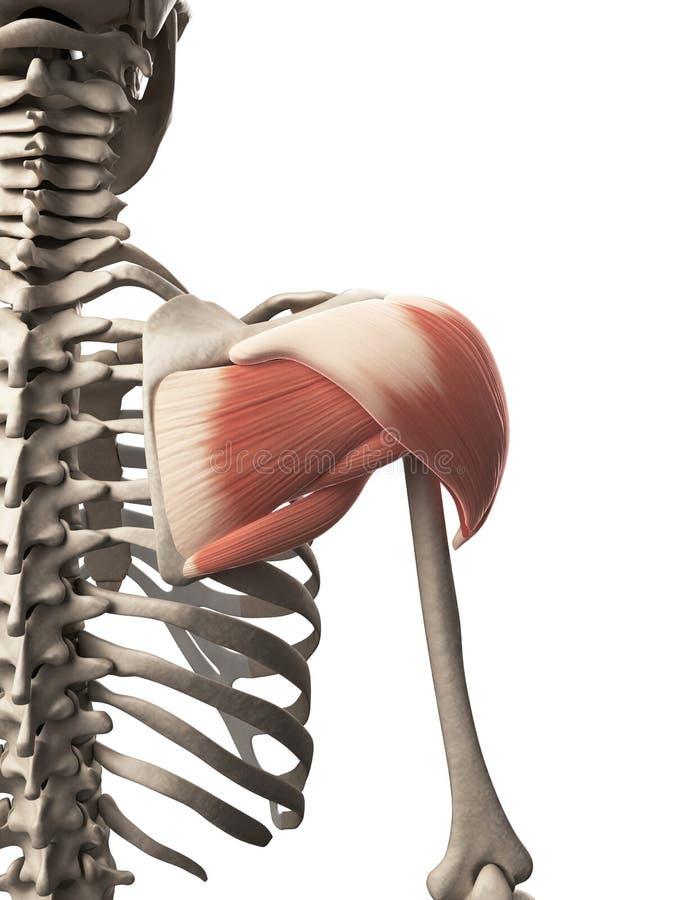 El músculo del hombro stock de ilustración. Ilustración de deltoideo ...