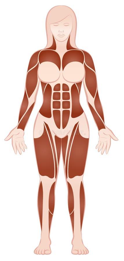 El músculo grande agrupa al cuerpo femenino Front View libre illustration