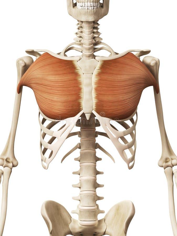 El músculo pectoral mayor stock de ilustración. Ilustración de ...