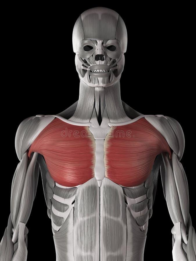 Famoso Donde Se Encuentra El Músculo Pectoral Patrón - Imágenes de ...