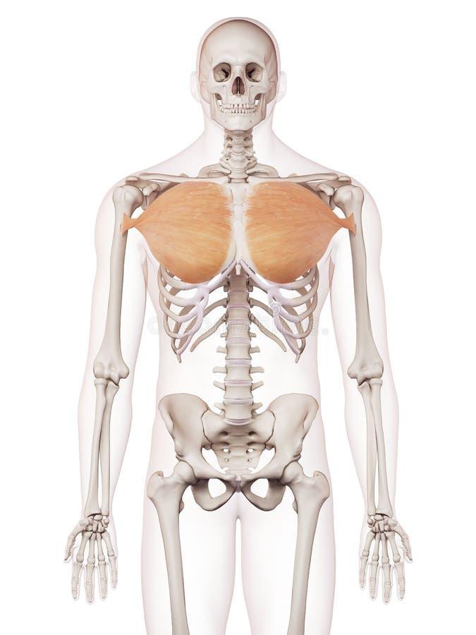 Encantador Anatomía Del Pectoral Mayor Bosquejo - Anatomía de Las ...