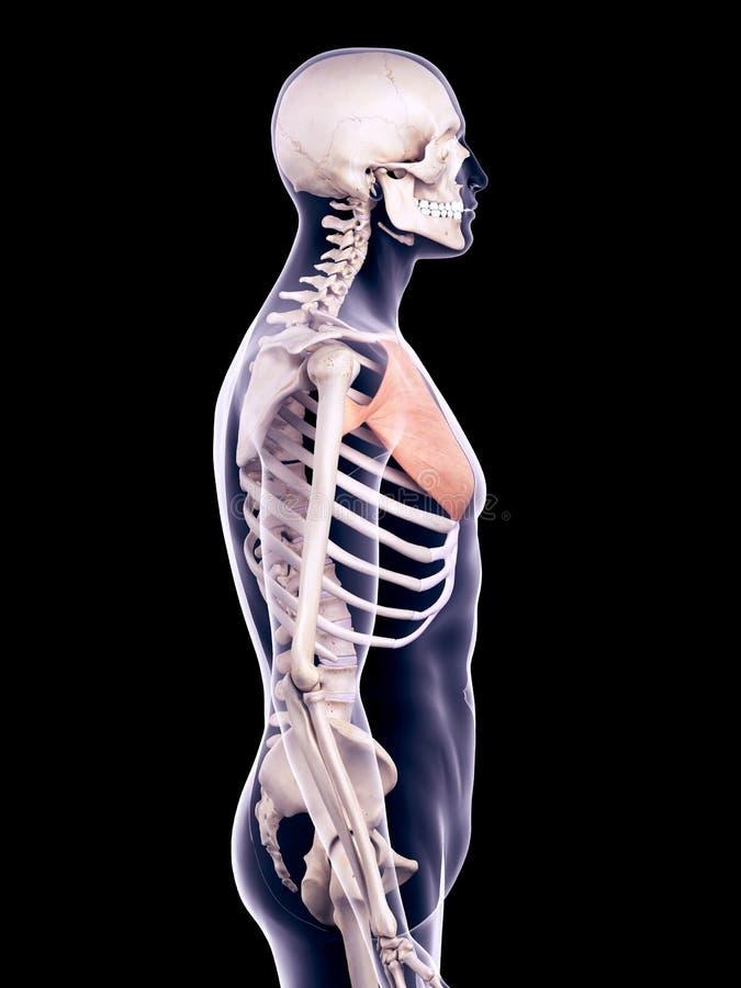 Atractivo Anatomía Músculo Pectoral Imágenes - Imágenes de Anatomía ...