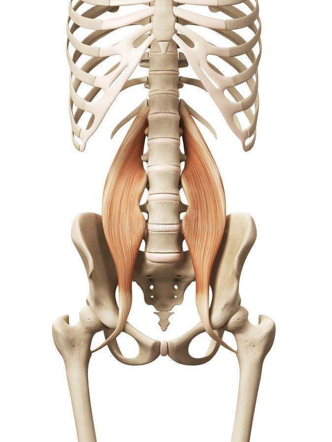 El músculo psoas mayor stock de ilustración. Ilustración de diagrama ...