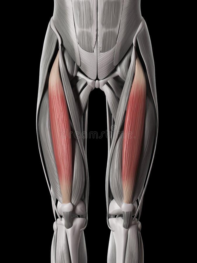 El músculo recto femoral stock de ilustración. Ilustración de ...