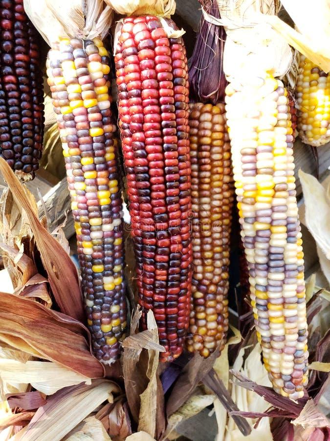 El maíz indio es muy colorido fotografía de archivo