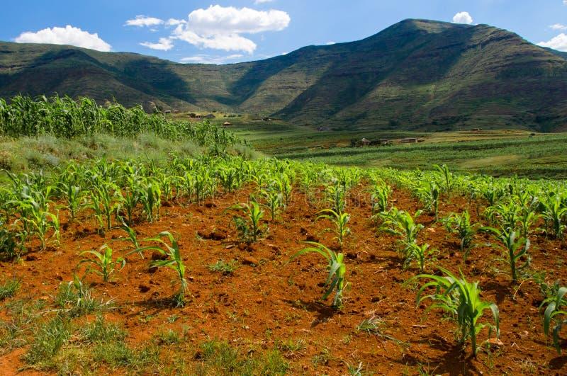 El maíz (maíz) planta el crecimiento en Lesotho imagen de archivo libre de regalías